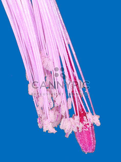 Крупным планом розовый цветок на синем фоне - бесплатный image #347723