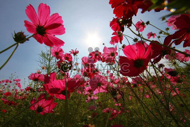 Pink cosmos flowers at sunset - image #347733 gratis