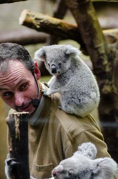 Koala Baby - Kostenloses image #348333