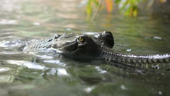 Closeup portrait of crocodile in pond - Free image #348393