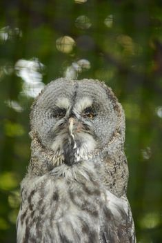 Portrait of owl on natural green background - бесплатный image #348423