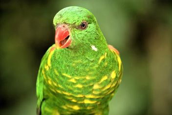Beautiful green lorikeet parrot - image gratuit #348453