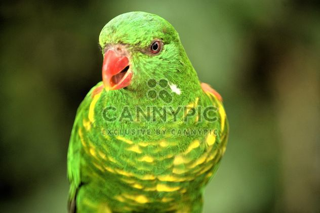 Красивая зеленая лорикет попугай - бесплатный image #348453