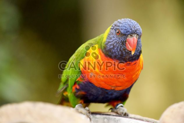 Tropical rainbow lorikeet parrot - бесплатный image #348463