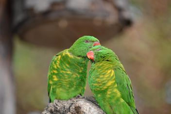 Pair of green lorikeet parrots - image gratuit #348473