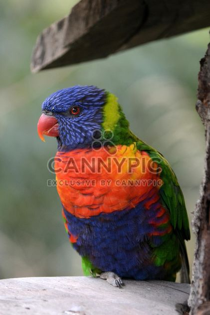 Tropical rainbow lorikeet parrot - Free image #348483