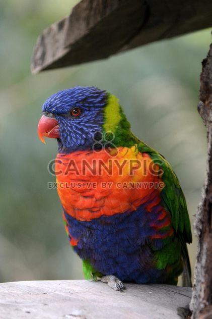 Tropical rainbow lorikeet parrot - Kostenloses image #348483
