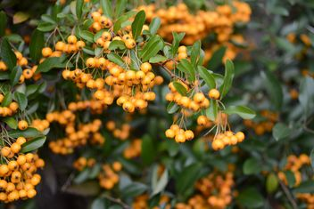 Closeup of rowan berries on tree - image #348503 gratis