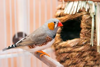 Zebra finch in cage - Kostenloses image #350243