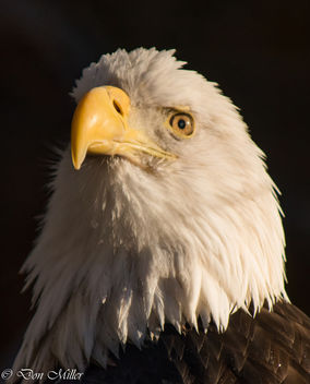 American Bald Eagle - image gratuit #350773