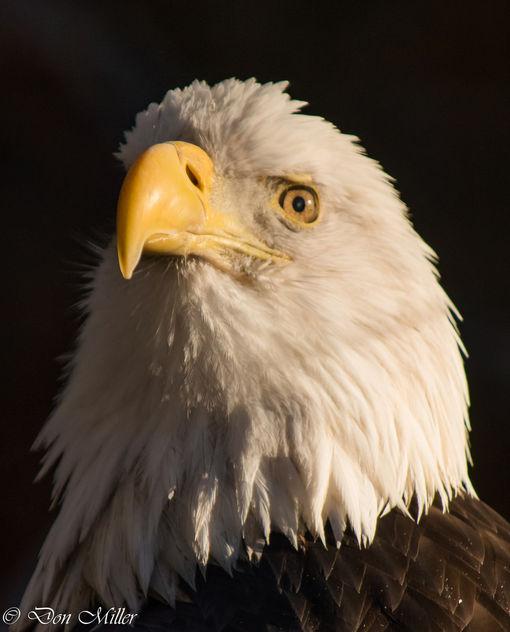 American Bald Eagle - image #350773 gratis