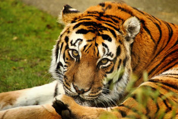 Tiger - Shepreth Wildlife Park - Free image #355533