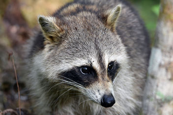 Raccoon Portrait - Free image #359103