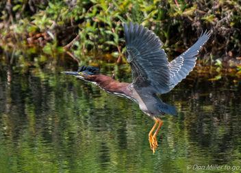 Green Heron - Free image #362243