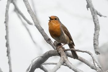 Singing Robin - бесплатный image #363643