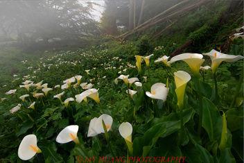 Calla Lillies Cove - image #363963 gratis