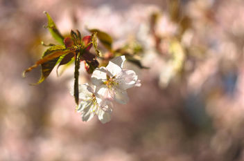 blossom - Kostenloses image #365193