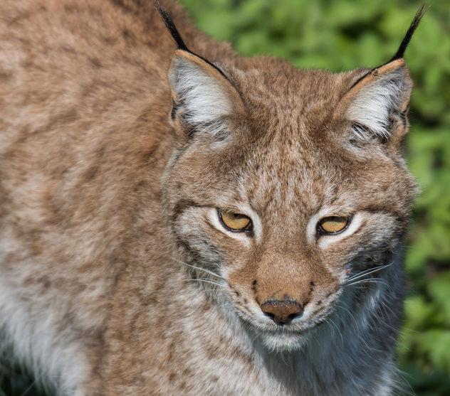 Lynx - image gratuit #365483