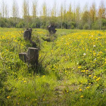 Dandelions - image gratuit #365583