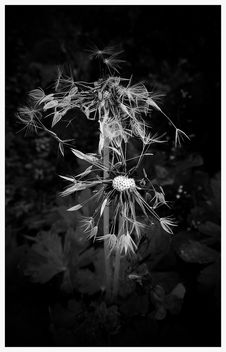 Dandelion - image gratuit #366303