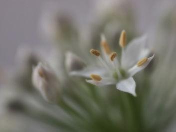 Wild Onion - Free image #368083