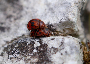 24-spot ladybird - Subcoccinella 24-punctata - бесплатный image #368193