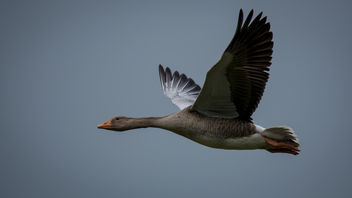 Grauwe gans / Anser anser / Greylag goose - Free image #374723