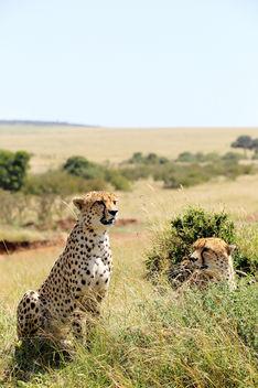 Cheetahs, Masai Mara, Kenya - Free image #375903