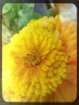 Summer explosion... A little marigold braving the elements...winds, showers and sun...HSS - image gratuit #377013