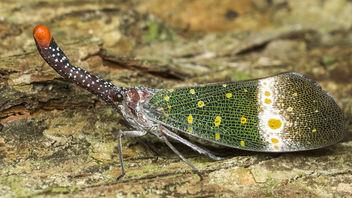 Lantern Bug - Kostenloses image #377133