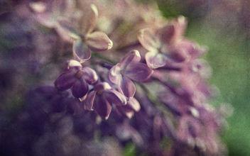 Spring Lilacs - Kostenloses image #382663