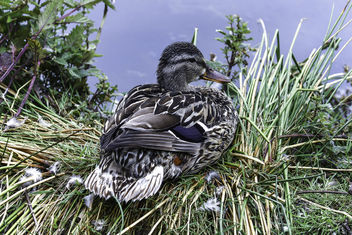 Mother Mallard Watches Over Her Brood - image gratuit #382833