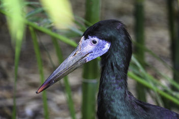 Beautiful Black Stork - image gratuit #384183