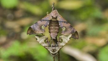 hawk moth - image #385953 gratis