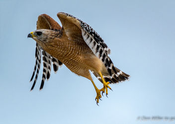 Red-shoulder Hawk - image #386983 gratis