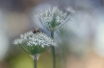 Nectaring Bee on Wild Onion - image gratuit #387173