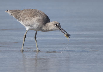 Willet with a Mole Crab - Free image #389373