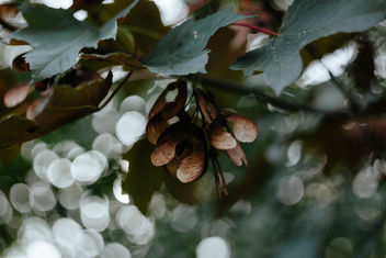 Maple tree bokeh - image #391593 gratis