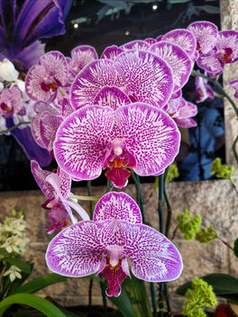Orchids - Free image #396233