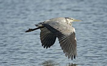 Grey Heron - image #397583 gratis