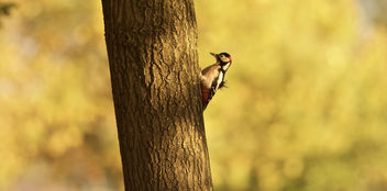 Great spotted woodpecker - image #398333 gratis