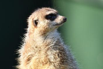 Meerkat - бесплатный image #403453
