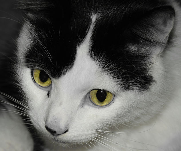 Louis the Black and White Cat - Free image #403473