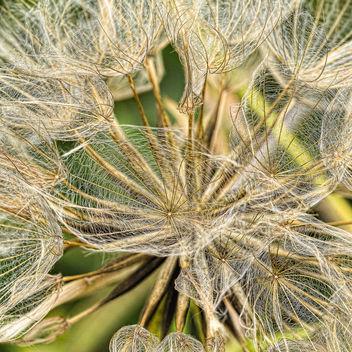 Giant dandelion - image gratuit #409693