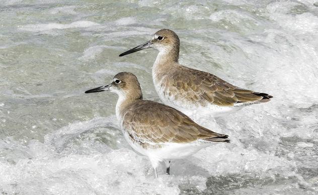Sanderlings in the Waves - Free image #413043