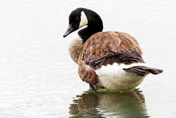 Canadian Goose. (Branta canadensis) - Free image #414123