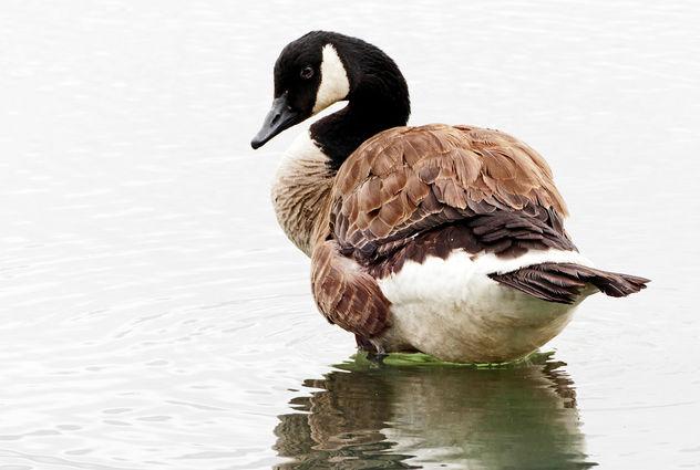 Canadian Goose. (Branta canadensis) - image gratuit #414123
