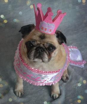 Happy Birthday Bailey Puggins! - бесплатный image #415293