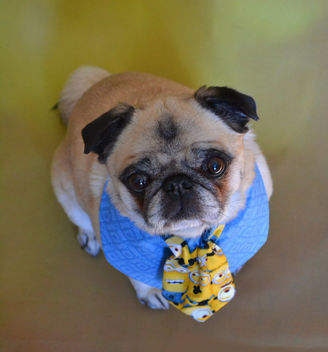 Leader of my Minions Bailey Puggins - Free image #416253