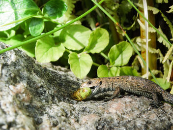 Viviparous lizard // Zootoca vivipara - Kostenloses image #417363